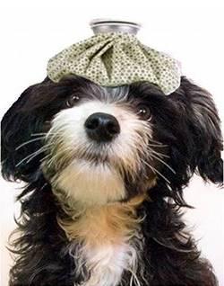 perro con una bolsa de agua caliente en la cabeza