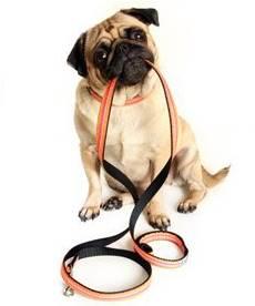 entrenar a su perro a usar una correa